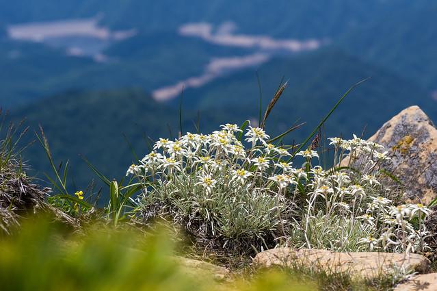 岩稜に咲くホソバヒナウスユキソウ