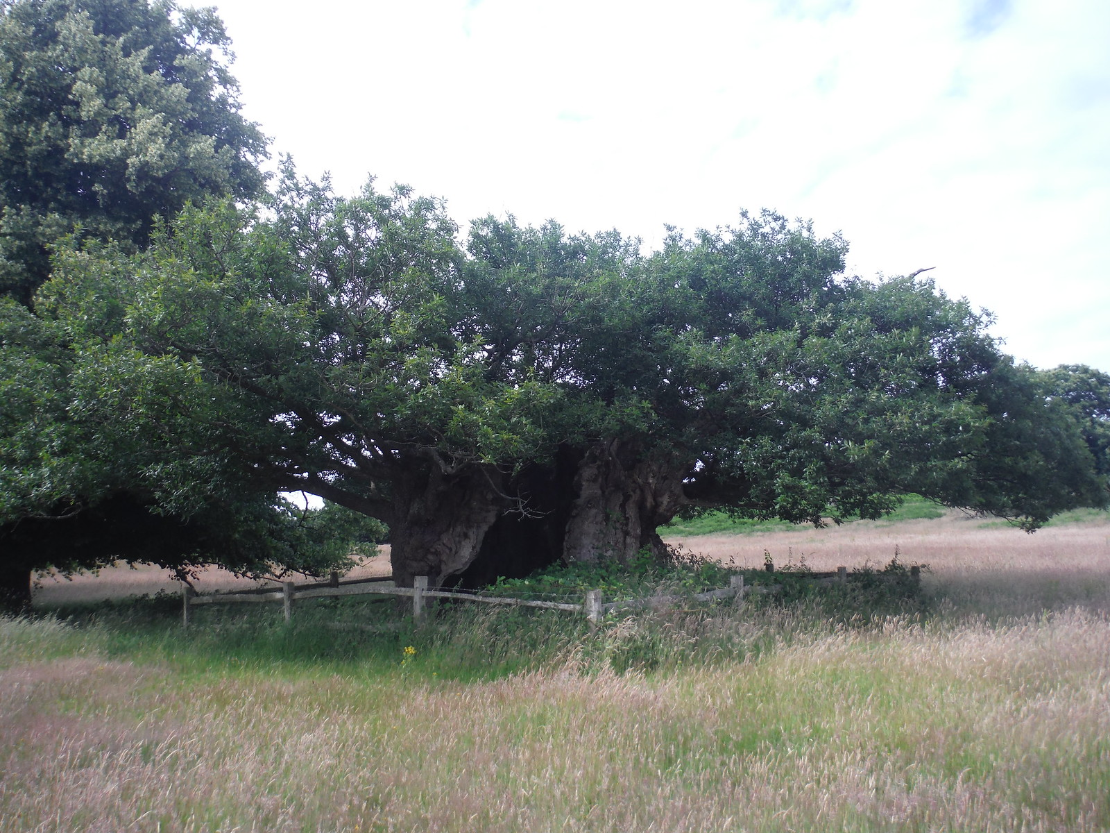 Queen Elizabeth I Oak, Cowdray Park SWC Walk 48 Haslemere to Midhurst (via Lurgashall or Lickfold)