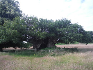 Queen Elizabeth I Oak, Cowdray Park