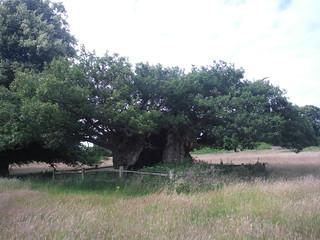 Queen Elizabeth I Oak, Cowdray Park