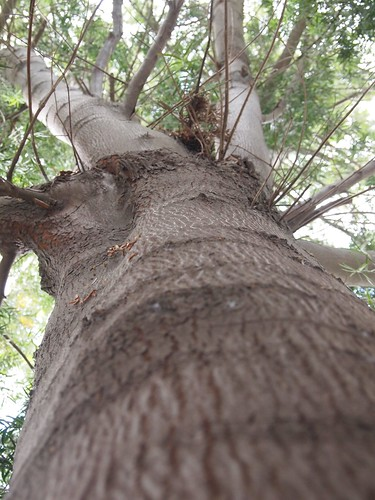 Garden Inventory: Podocarpus - 4