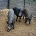 Feral Swine in U.S.
