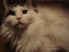 Fluffy (Ragdoll)