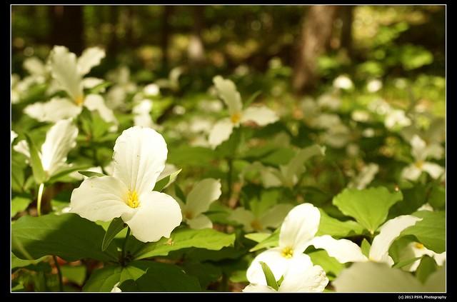 White-flowered trillium (Trillium grandiflorum)