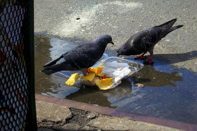 Met Ave Pigeons
