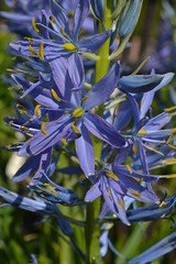CAMASSIA leichtlinii ssp. suksdorfii 'Electra'