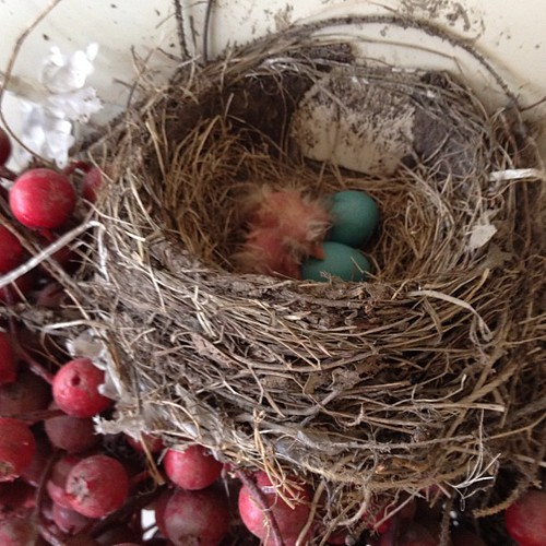 The robins are hatching! The nest is at my front door.