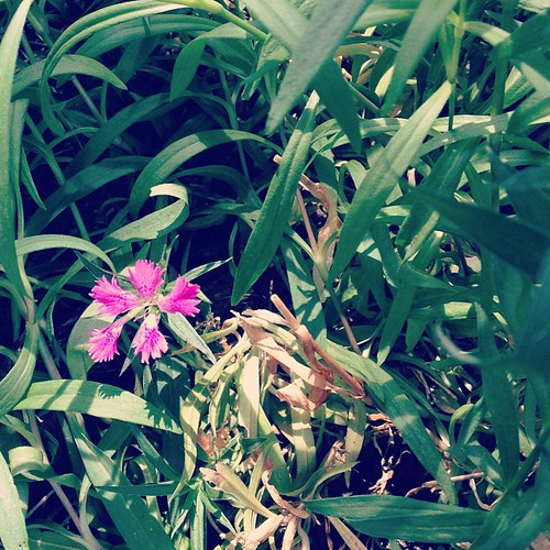 Day164 What I thought was weeds in my backyard is actually flowers.  Glad I didn't pull them! 6.13.13 #jessie365