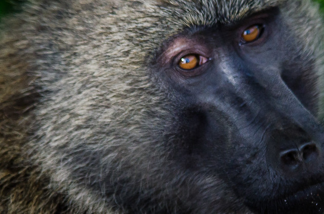 Baboon Stare-down