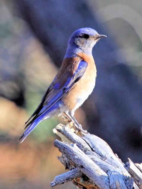 Western Bluebird 3-20130618
