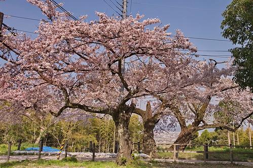 【写真】桜 : 石清水八幡宮
