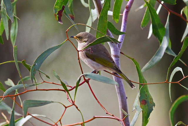 Fuscous Honeyeater NB