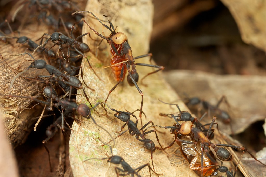 Army ant ecology - FM Forums