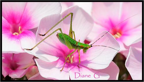 Baby Grasshopper On Hydrangea
