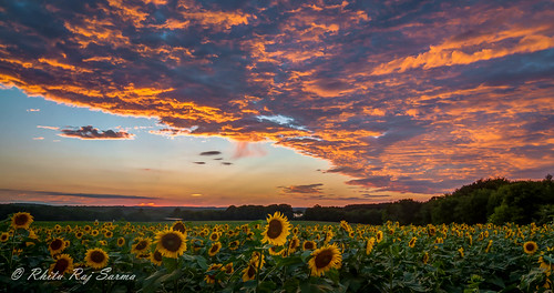 sunset landscape lowlight sunflower buttonwood