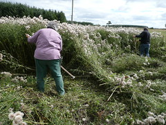 cutting thistles with scythes