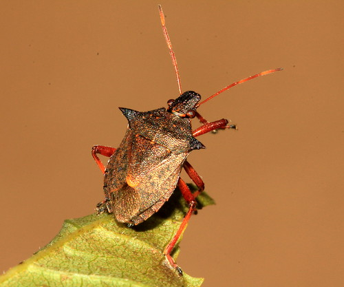Spiked Shieldbug 22147