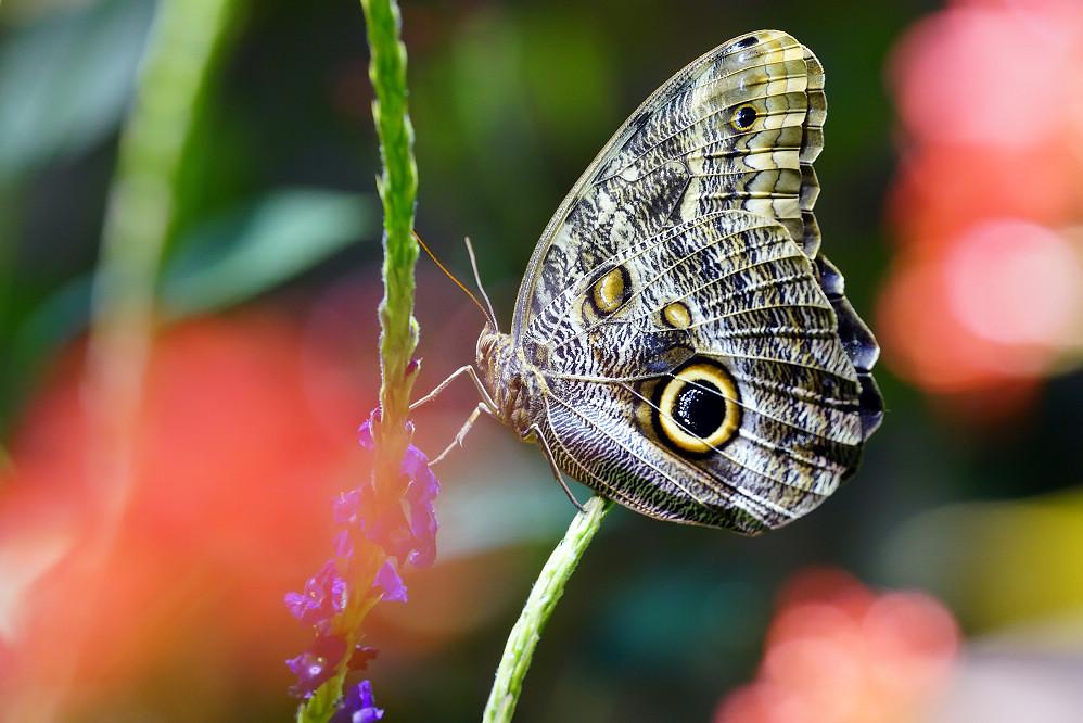 美洲蛺蝶 Caligo eurilochus-2
