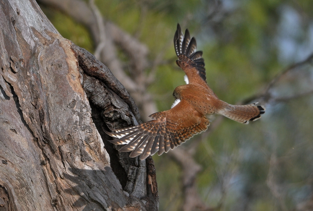 Australian Kestrel wings out.
