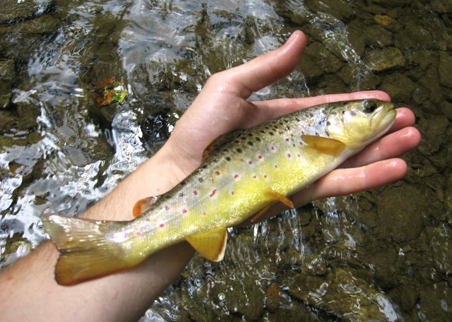 Brown Trout in Maryland