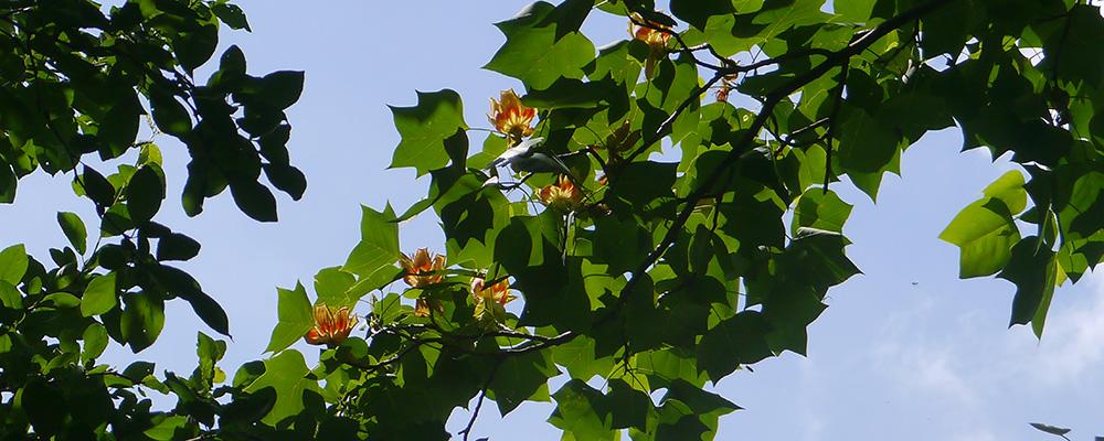 Поїздка до тюльпанового дерева