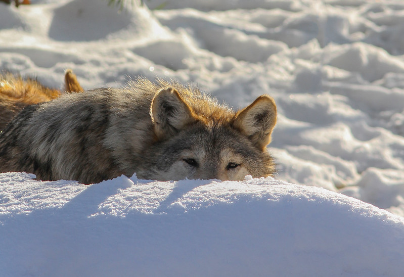 Mexican Wolf Peeking Over the Snow