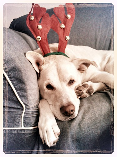 Always the goofball, Zeus was happy to wear the reindeer antlers #CancerBites #LapdogCreations ©LapdogCreations