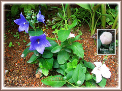 2 varieties of Platycodon grandiflorus (Balloon Flowers), 21 Nov 2013