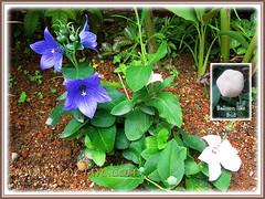 2 varieties of Platycodon grandiflorus (Balloon Flowers), 21 Nov 2013