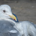 Glaucous-winged Gull (Larus glaucescens) by Photo Patty
