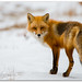 Ever ready Red Fox by KhurramK