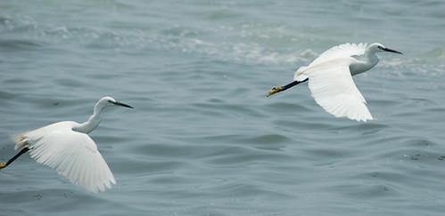 12 白鷺鷥_大鵬灣國際休閒特區