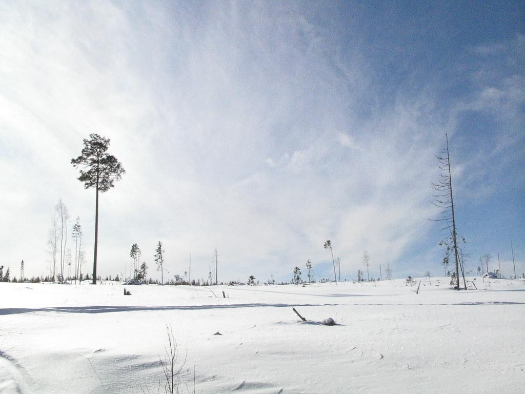 Tree, Sweden Ostersund, 2008