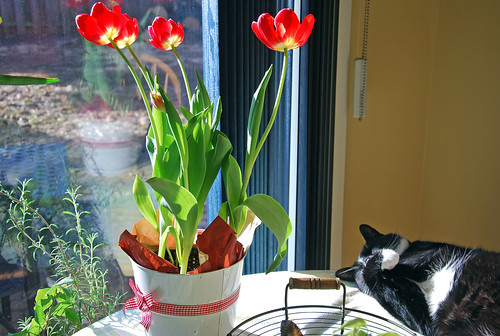 Pot with red tulips and Melvin the cat