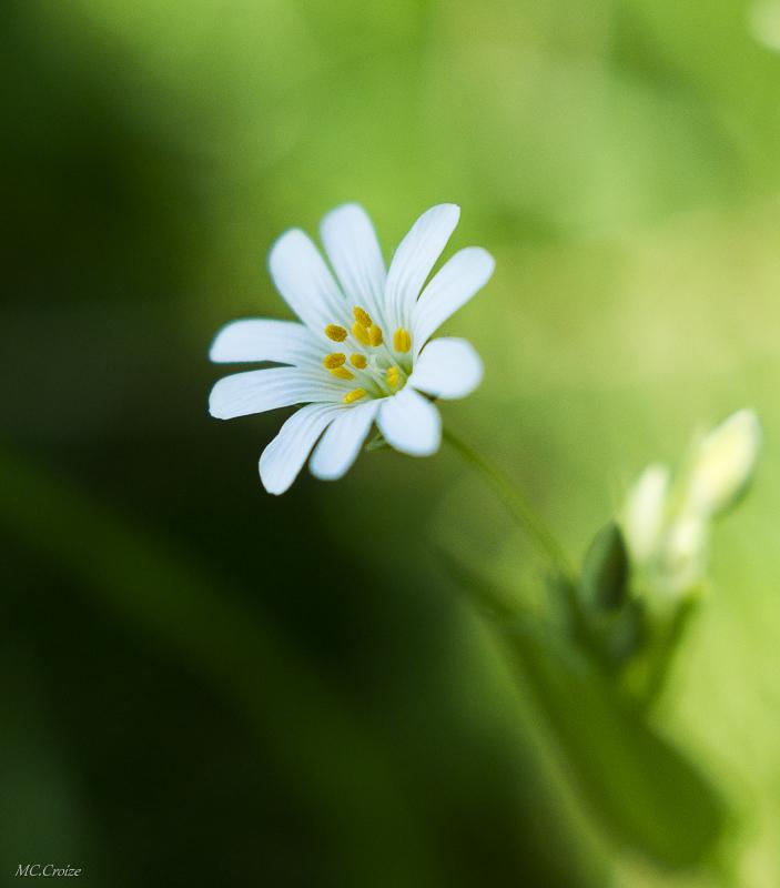 Fleur délicate 13901503824_3c5bd6df03_c