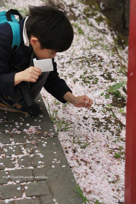 20140502_AomoriSakura_1152 f