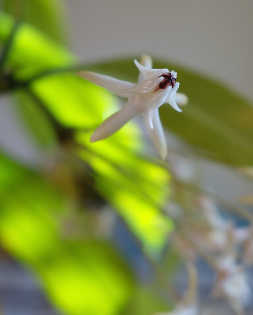 Hoya multiflora 'Milky Way' 15741186024_f37dc3e79c_b