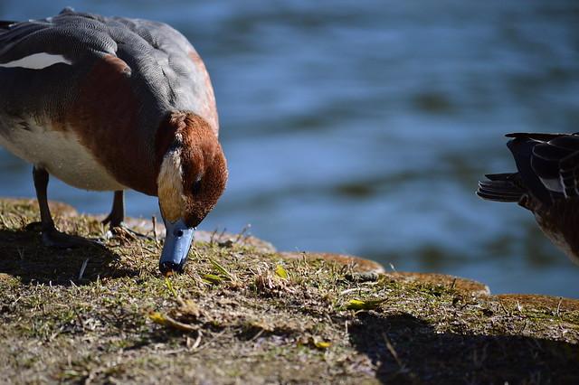 ヒドリガモ Eurasian Wigeon