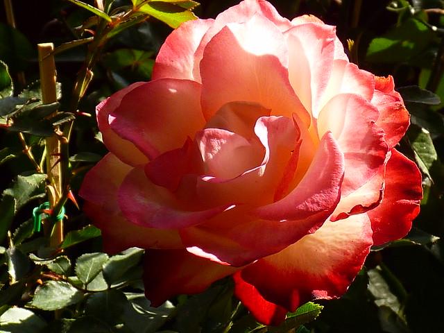 R - Rose flower-u73abu7470u82b1-P2030892