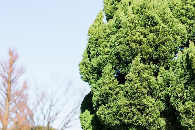 Tree in Yamashita Park