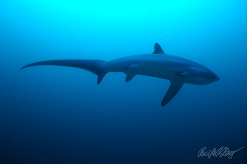 Thresher Shark by Pacificklaus