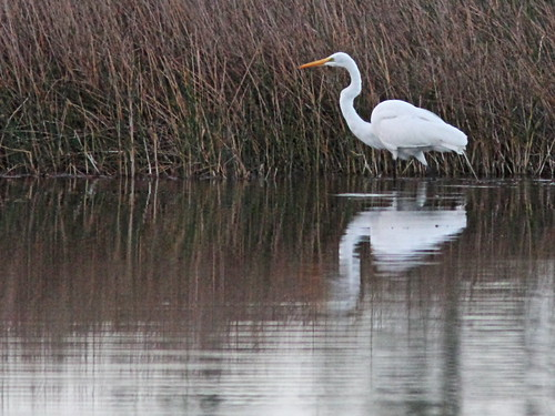 Great Egret 20150201