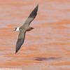 COLLARED PRATINCOLE Glareola pratincola by Rich Andrews