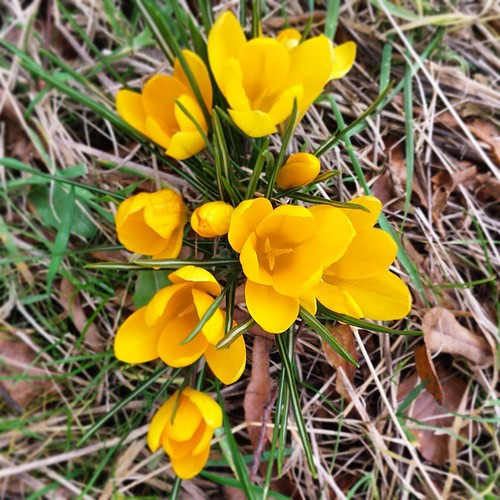 Pretty spring crocuses on our walk this afternoon #spring #flowers #manchester  #springscoming #crocus #lbloggers