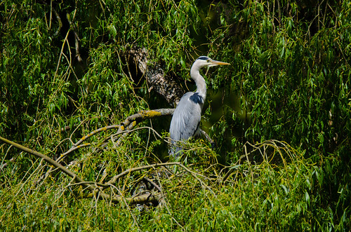 Young heron in fallen willow