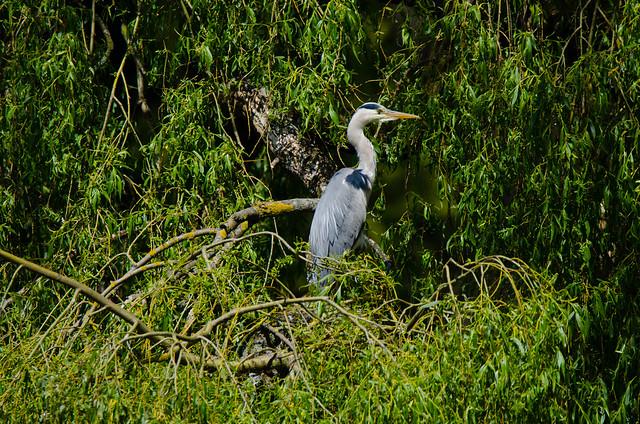 Young heron in fallen willow