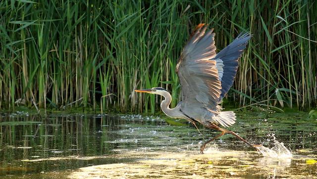 Walking on Water - Great Blue Heron