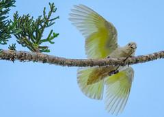 Corella Feathers