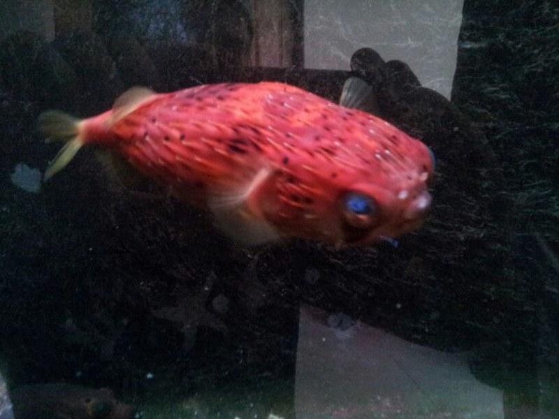 Just got a red porcupine puffer fish questions reef for How much is a puffer fish