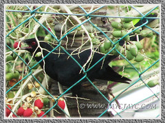 Close-up of male Asian Koel (Eudynamys scolopaceus) feasting on fruits of our Manila/Christmas Palm, June 15 2013